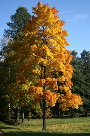 weald: yellow tree on the background of green trees