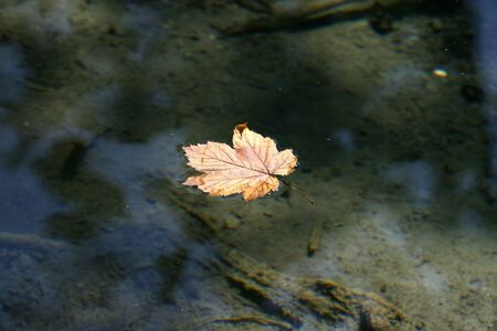 Autumnal maple leave swiming in lake water