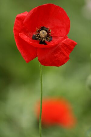pith: Red poppy with black pith on green background