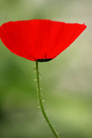 Red poppys petal highlighted with sun