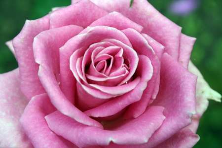 Beautiful detail pink rose on the green background
