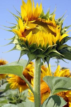 Opening sunflower bud on blue sky background Stock Photo - 15307326