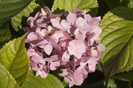 airiness: Pink hortensia flowers background