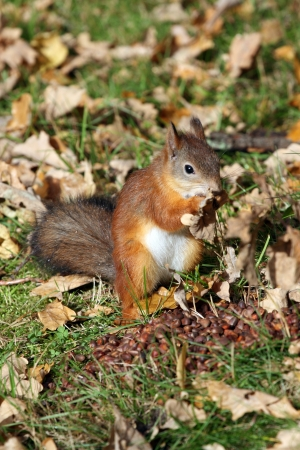 Red squirrel eating berries in autumn forest photo