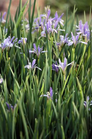 Closeup of violet wild blueflags on green meadow photo