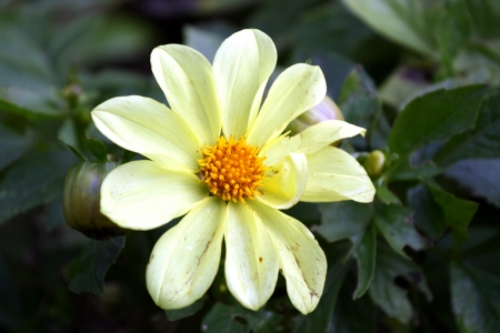 georgina: Yellow dahlia in detail on green background. Stock Photo