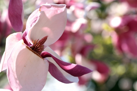 Close up of tender magnolia flower.
