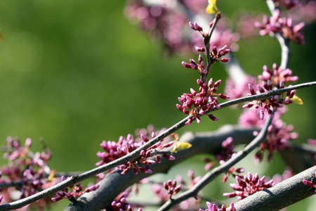 Pink buds flowering on branch  Stock Photo