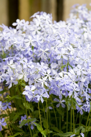 Many periwinkle flowers, some of them in focus. Stock Photo