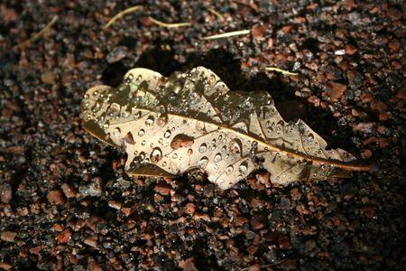 Autumnal oak leaf on the ground. Drops on leaf.