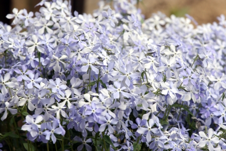 Periwinkle flowers in summer garden. Stock Photo