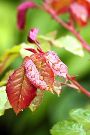 Young rose leaves with drops. Stock Photo