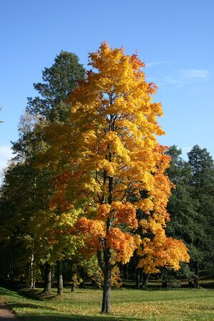 amber coloured: Yellow tree growing in autumn park. Russia, Peterhof.  Stock Photo