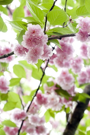 apri: Close up pink sakura, blooming from late March to early Apri. Stock Photo