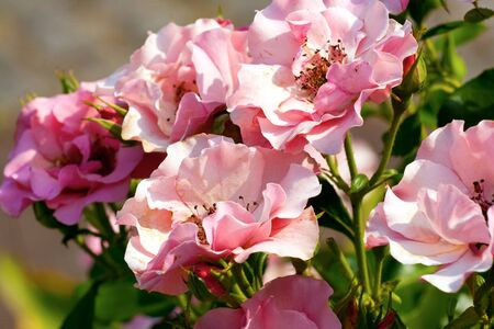 Pink roses garden. Many beautiful flowers.