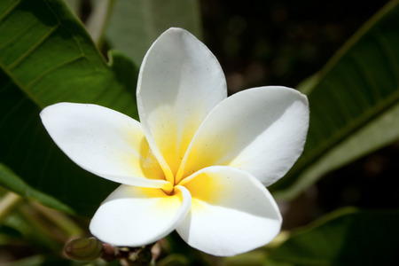 White and yellow plumeria tropical flowers with green background.