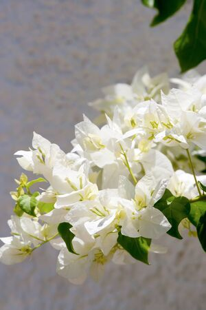 Beauty white bougainvillea flowers, Sharm el Sheikh, Egypt