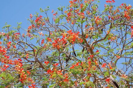 Blossoming tropical tree Royal Poinciana with beautiful red flowers.