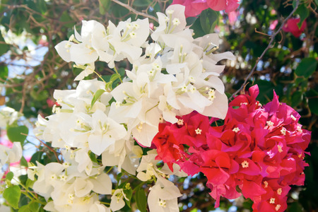 Beauty white and red bougainvillea flowers, Sharm el Sheikh, Egypt