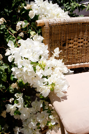 White bougainvillea flowers near a decorative chair Stock Photo