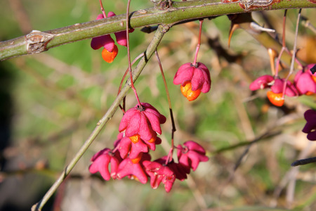 Euonymus - beautiful pink and orange decorative autumn berry. Stock Photo