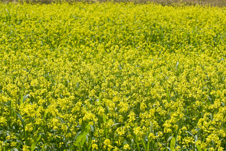 Yellow rape field in South Russian Stock Photo