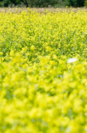 Wild yellow rape field with bloor in front Stock Photo