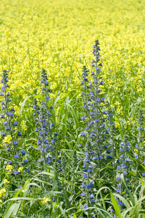 Simple blue flowers on backgrounf of yellow rape field
