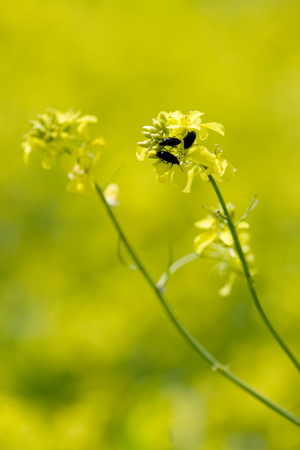 Yellow rape flowers with beetles on it