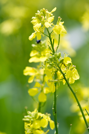 Yellow rape flowers in detail