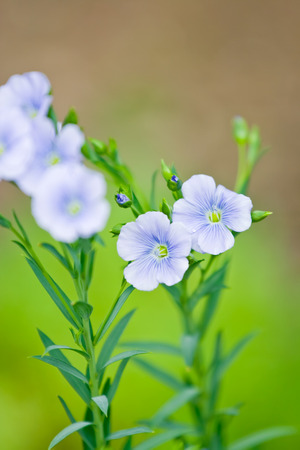 Blue flax flowers on blur background