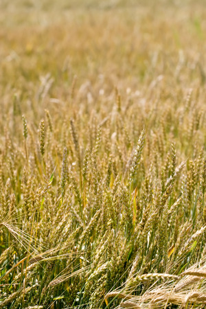 Yellow grain growing in a farm field