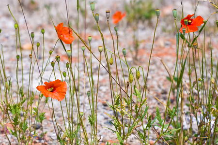 Desert poppies growing in the sidewalk Stock Photo