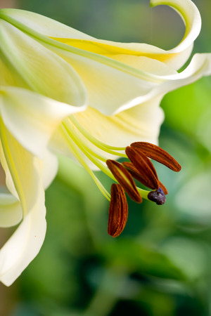 White lily stamens on blur background