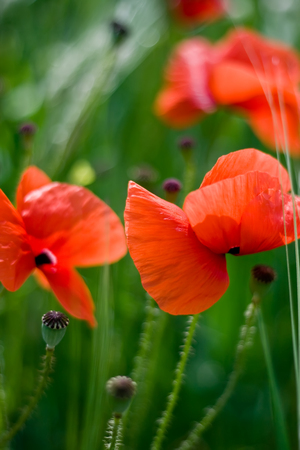 Meadow with beautiful bright red poppy flowers in summer Stock Photo