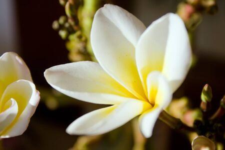 Plumeria flowers in detail