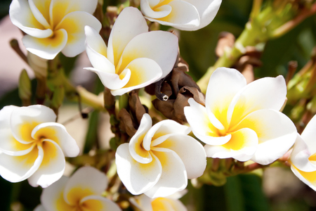 White and yellow plumeria tropical flowers in nature