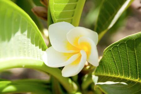 White and yellow plumeria tropical flower on green background