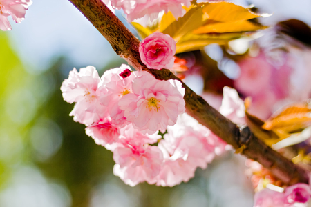 White sakura trees in bloom Stock Photo