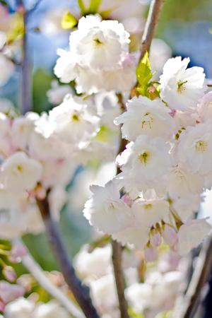 White sakura trees in bloom Standard-Bild