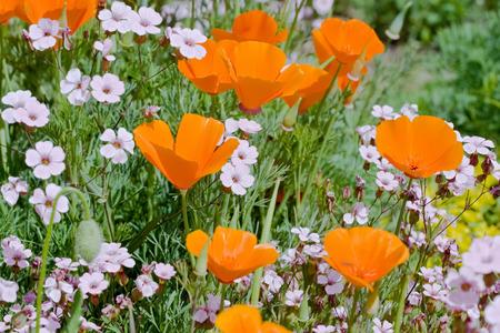 Orange eschscholzia flowers in bloom on the meadow