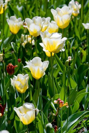 Flowerbed of beautiful white tulips Stock Photo