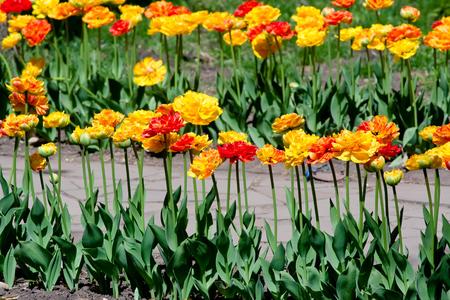 The row of orange tulips