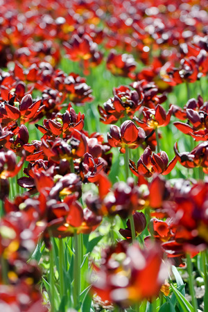Dark red tulips grow in the spring park Stock Photo