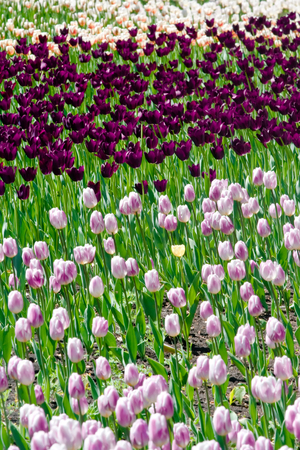 Field of beautiful pink and purple tulips.