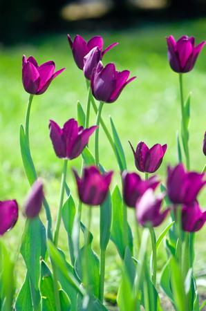 Field of beautiful purple tulips