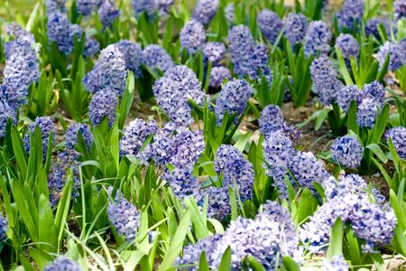 Flowerbed with blue hyacinths in spring park Standard-Bild