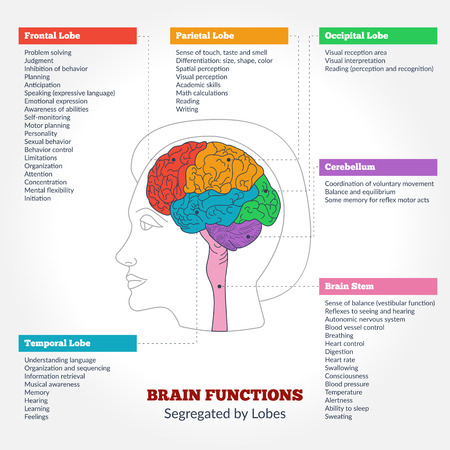 Guide to the human brain anatomy and human brain functions segregated by lobes. Brain structure infographics.