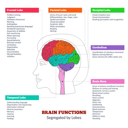 Guide to the human brain anatomy and human brain functions segregated by lobes. Brain structure infographics. Frontal lobe, parietal lobe, occipital lobe, temporal lobe, brain stem, cerebellum.