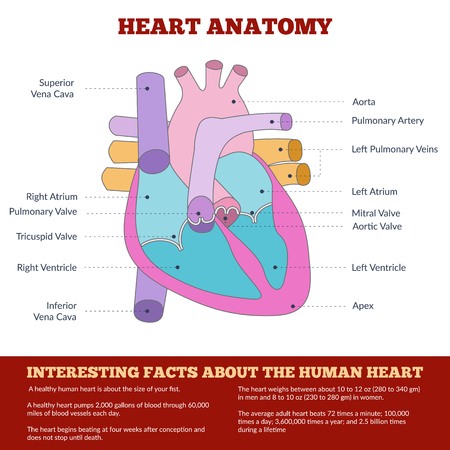 medicaid: Diagram of human heart anatomy and circulatory system. Circulation of blood through the heart for basic medical education, clinics and schools. Vector info graphics.